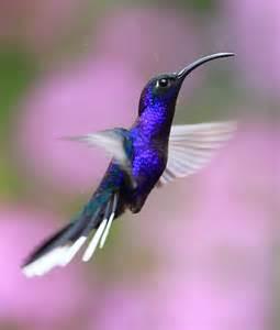 Blue Hummingbird Birds
