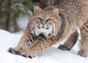bob cat bobcats prowl among us haunt birdfeeders