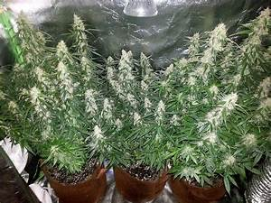 Learn How To Improve Marijuana Yields By Targeting  U0026quot The