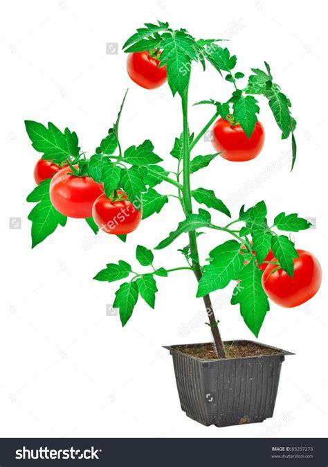 tomato shrub clipart clipground