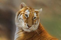 Images About Animals Big Cats Pinterest