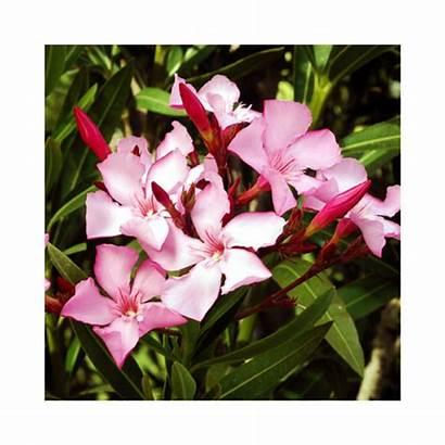 Oleander Nerium Pink Single Dwarf Kaner Plant