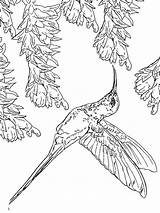 Hummingbird Coloring Pages Hummingbirds Ruby Throated Birds Drawing Flowers Coloring4free Printable Colorings Rufous Getdrawings Getcolorings Colors Template Recommended sketch template