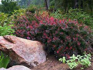 Berberis Thunbergii Atropurpurea Nana : crimson pigmy barberry garden shrubs pinterest gardens an and 2 ~ Pilothousefishingboats.com Haus und Dekorationen