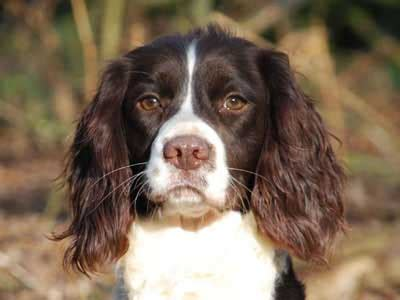 english springer spaniel information characteristics
