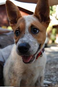 17 Best images about Dog-bull terriior/red heeler on ...