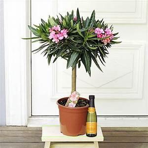 Oleander Winterhart Kaufen : oleander stamm von auf kaufen ~ Eleganceandgraceweddings.com Haus und Dekorationen