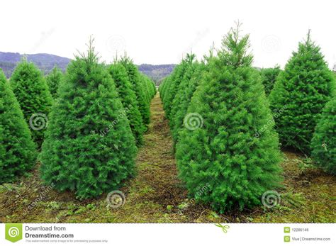 oregon christmas tree farm royalty  stock image