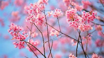 Microsoft Cherry Blossoms Blossom Desktop Backgrounds Wallpapers