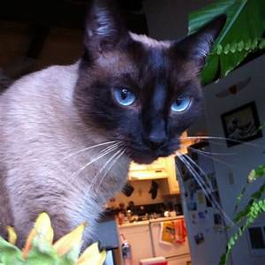 17 Best images about Siamese cat on Pinterest | 7 year ...