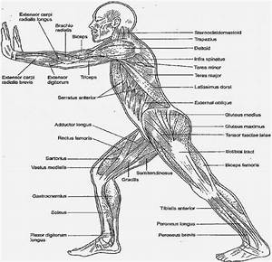 Human Body Muscle Diagram Detailed