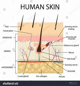 Illustration Human Skin Hair Anatomy Stock Vector ...