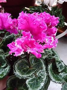 Plantes D Hiver Extérieur Balcon : fleur hiver balcon pivoine etc ~ Nature-et-papiers.com Idées de Décoration
