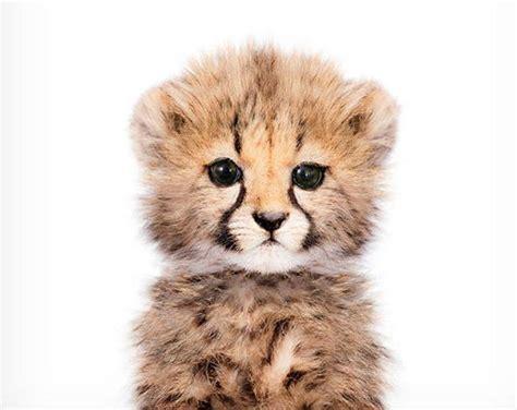 baby cheetah print safari nursery baby animal wall