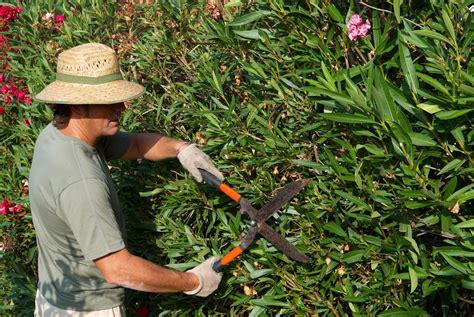 oleander schneiden alles zum richtigen zeitpunkt