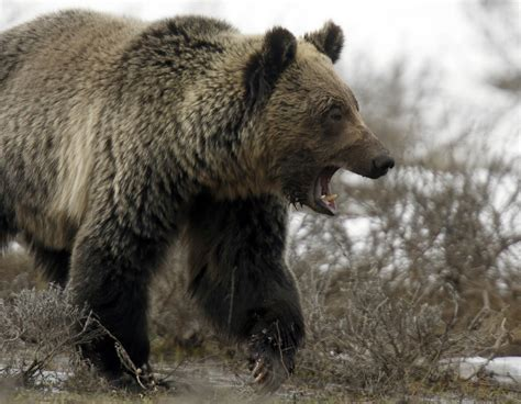 bear attacks montana man todd orr survives  grizzly