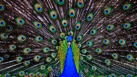 Peacock Wallpapers Hd Pixelstalknet
