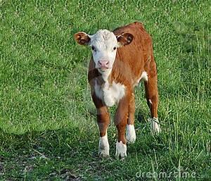 Baby Cow Stock Photos - Image: 2402183