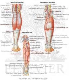 Posterior Lower Leg Muscle Anatomy