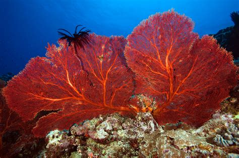 coral caledonia fans reefs sea reef underwater star feather corals habitat fish disappearing gorgonian ocean slideshow