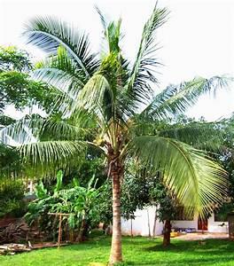 Aliexpress.com : Buy 10 Pcs Coconut tree Seeds Giant ...