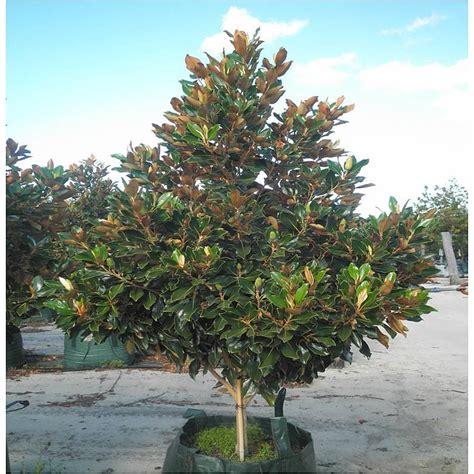 magnolia tree australia magnolia little gem evergreen trees mature perth wa