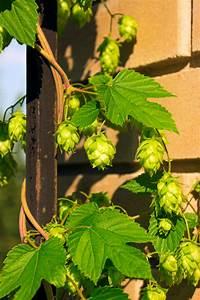 Hopfen Im Kübel Pflanzen : hopfen auf dem balkon so pflanzen und pflegen sie ihn richtig ~ Markanthonyermac.com Haus und Dekorationen