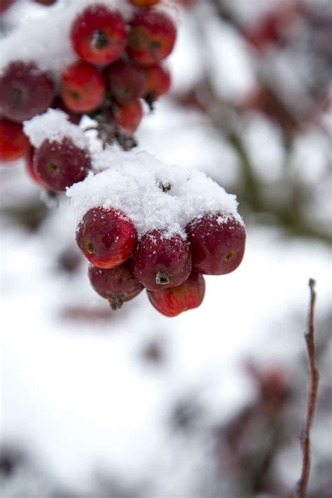 Snow Covered On An Apple Free Stock Photo - Public Domain ...