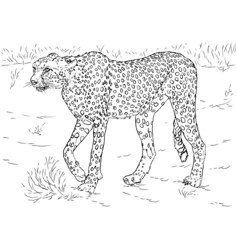 Kleurplaat Roofdieren by Leuk Voor Een Cheetah Ookwel Jachtluipaard Genoemd