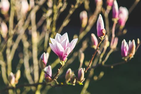 time flowers blossoming of magnolia flowers in spring time 183 free stock photo