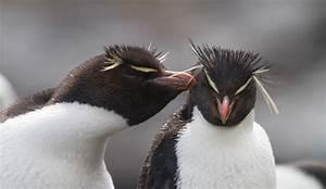 Rockhopper Penguin Ranges