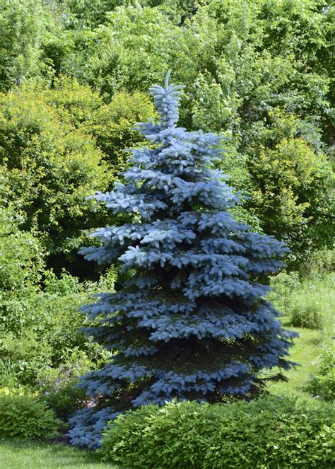 blue spruce plant inventory at 20 timothy picea pungens colorado blue spruce