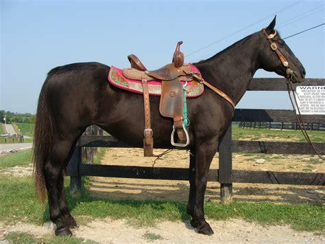 quarter beginner mare safe horse really nice horses gentle ridden youth kentucky