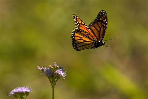 monarch  flight danaus plexippus photographing