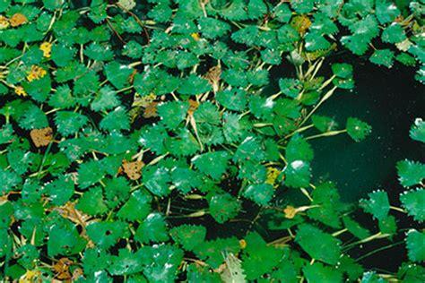 invasive species water chestnut