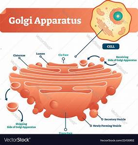 Golgi Apparatus Labeled Scheme Royalty Free Vector Image