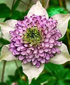 where to buy petals buy clematis 39 viennetta 39 bakker