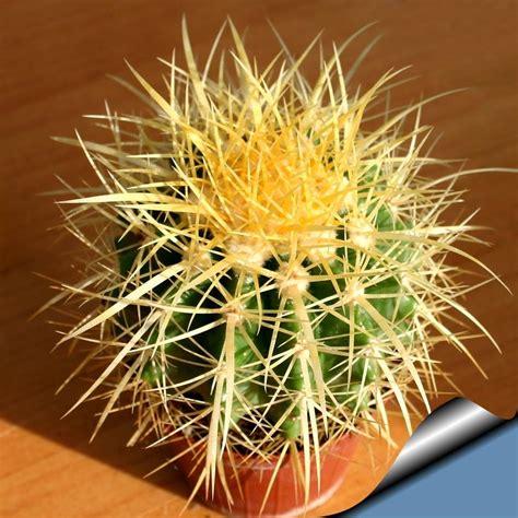 PlantZee: Information on The Golden Barrel Cactus