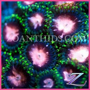 Zoanthids for Sale Soon Japanese Asterina Pinks