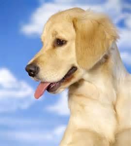Labrador Retriever Lab Puppy Names