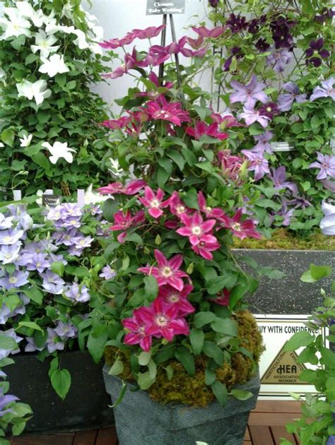 can i plant clematis in a pot clematis ruby wedding hardy 2 year plants 2 litre pot ebay