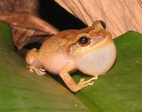 Coqui Frog Puerto Rico
