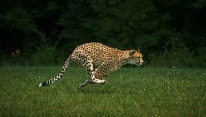 Sarah  Cheetah