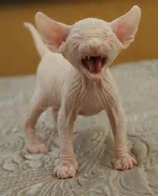 wrinkly baby peachy pink hairless cat kitten