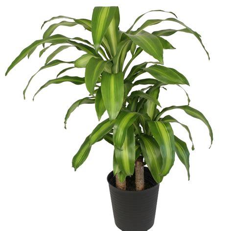 tanaman hias cantik bermanfaat menyerap racun