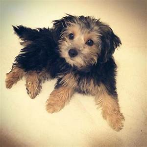 Cavalier King Charles Spaniel Mixed With Yorkie 12305 ...