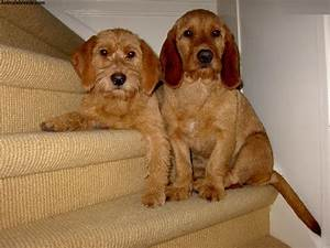 Basset Fauve De Bretagne Dog Breed Pictures Information