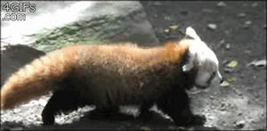 Baby Panda GIF - Find & Share on GIPHY