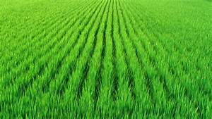 Rice Paddy Stock Footage Video - Shutterstock