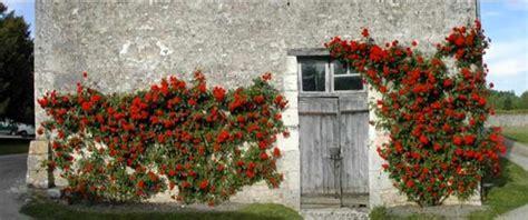 pruning climbing roses winter theclimbingrose